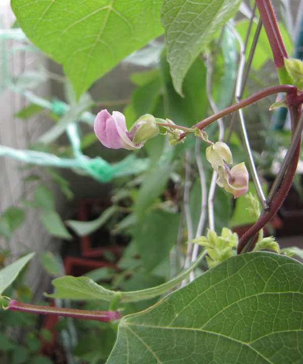 green bean flower and plant
