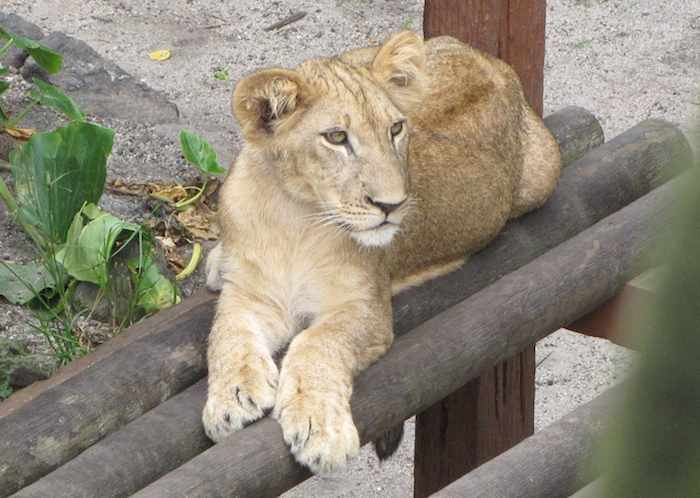 photo of a lion cub at the Johor Bahru Zoo