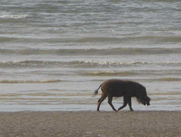 photo of wild boar on the beach