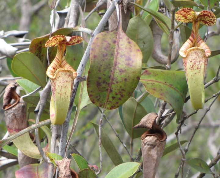 photo of pitcher plants