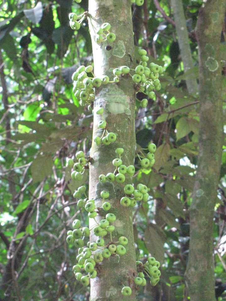 tree with fruit growing from main trunk
