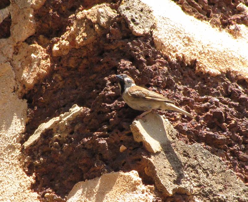 Sparrow on walls of St. Paul's Church, Melaka