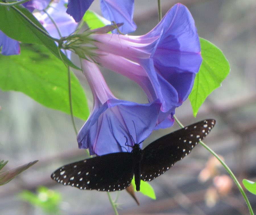 Black butterfly and blue/purple flowers