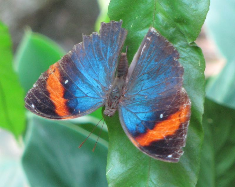 iridescent blue and orange butterfly