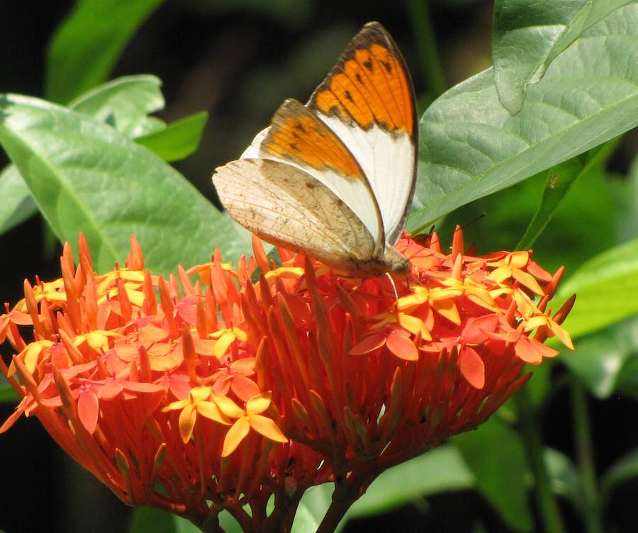 White and orange butterfly on orange flowers